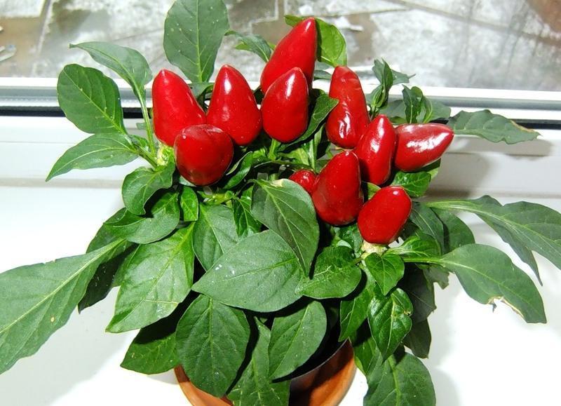 Комнатные перцы выращивание 18